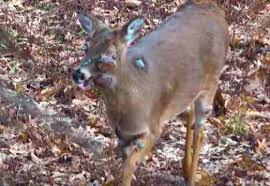 A deer infected with Chronic Wasting Disease