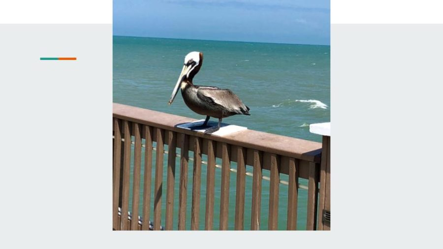 A+pelican+chilling+on+a+wooden+fence